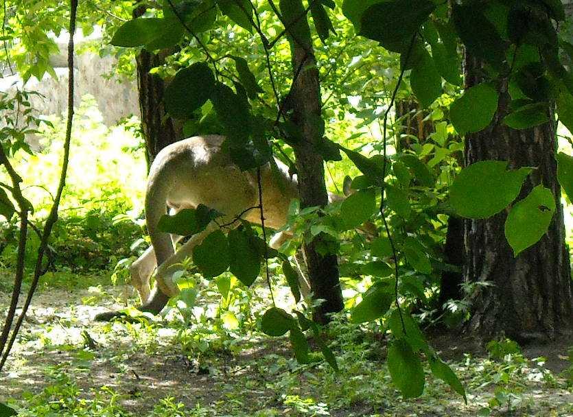 Большой серый кенгуру - Macropus giganteus  (фото 1183)
