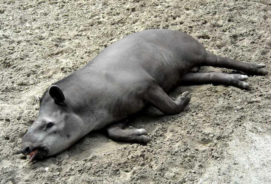 Равнинный тапир - Tapirus terrestris  (фото 1186)