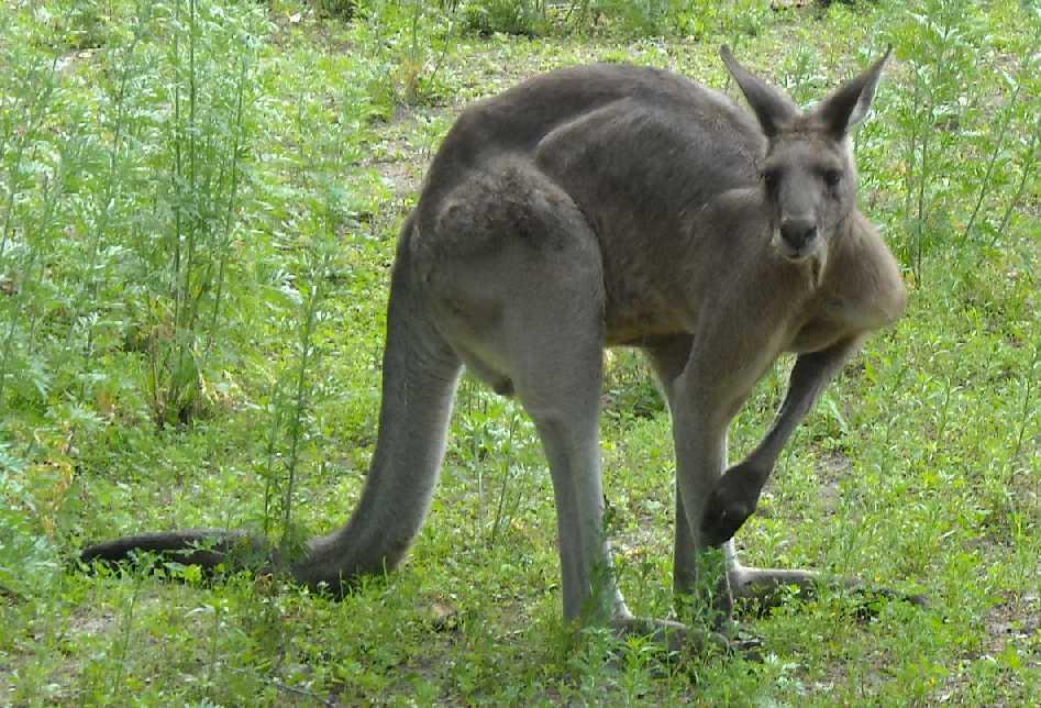 Большой серый кенгуру - Macropus giganteus  (фото 1191)
