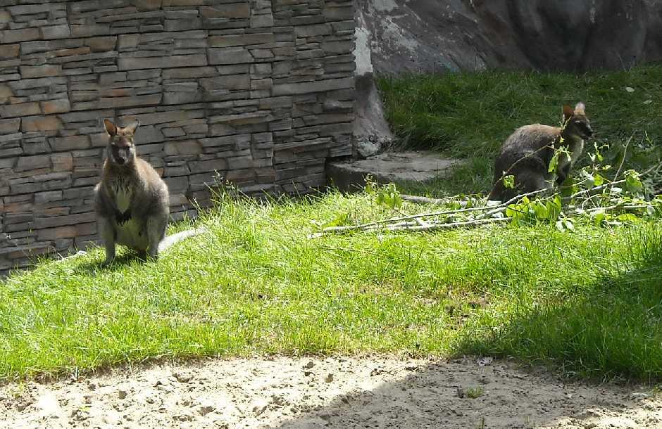 Кенгуру Беннета - Macropus rufogriseus  (фото 1197)