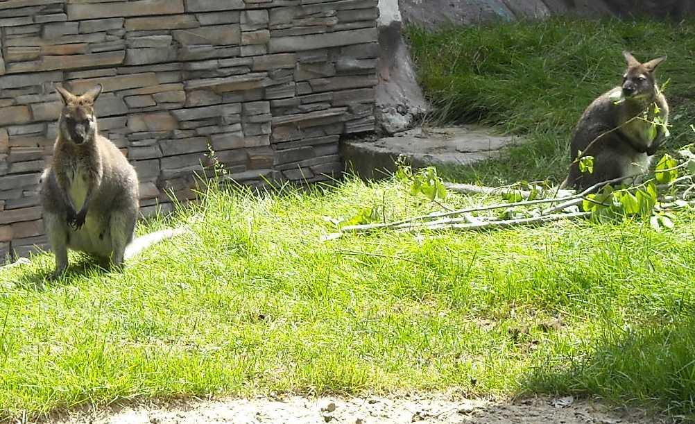 Кенгуру Беннета - Macropus rufogriseus  (фото 1198)