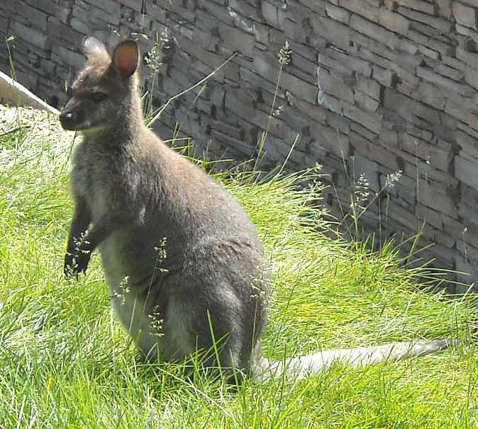 Кенгуру Беннета - Macropus rufogriseus  (фото 1202)