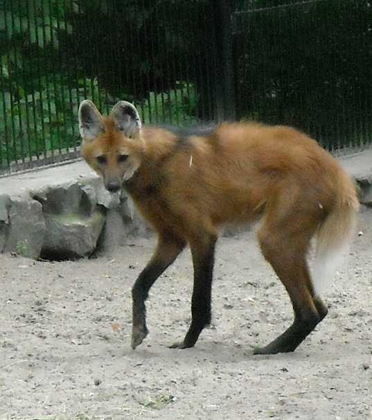 Гривистый волк - Chrysocyon brachyurus  (фото 1216)