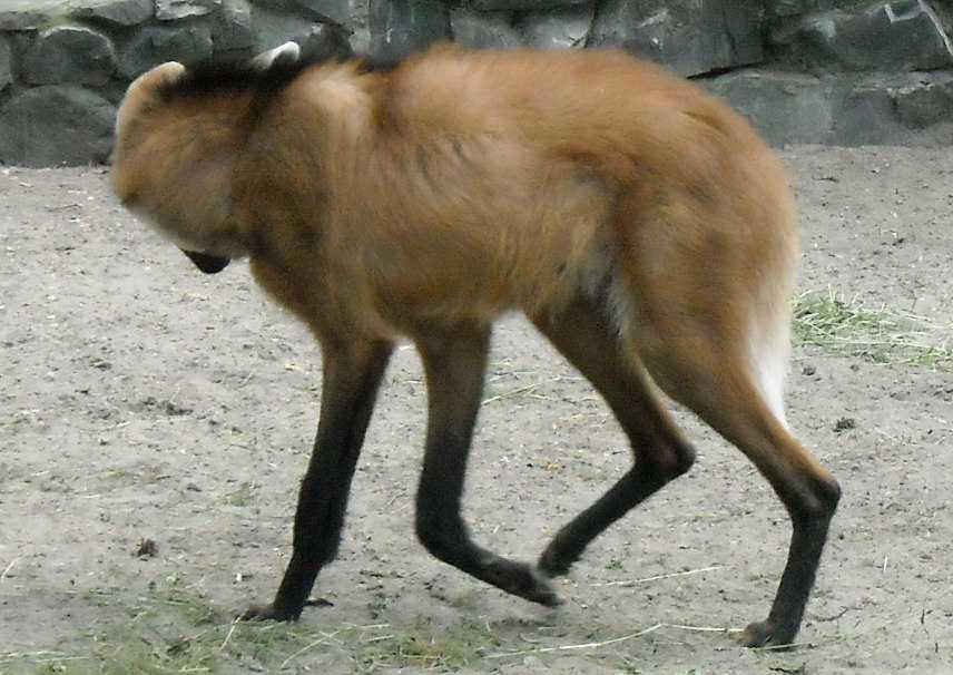 Гривистый волк - Chrysocyon brachyurus  (фото 1218)