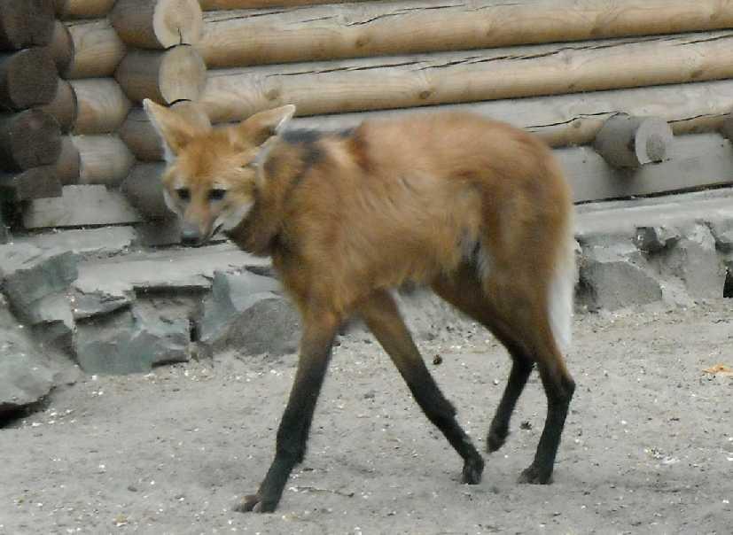 Гривистый волк - Chrysocyon brachyurus  (фото 1219)