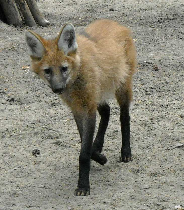 Гривистый волк - Chrysocyon brachyurus  (фото 1220)