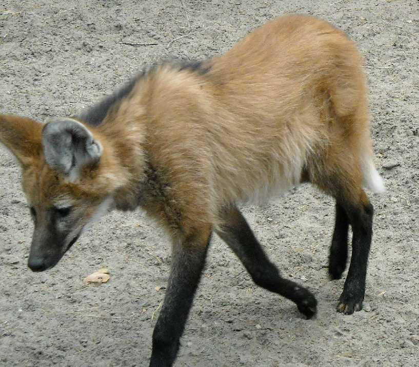 Гривистый волк - Chrysocyon brachyurus  (фото 1221)