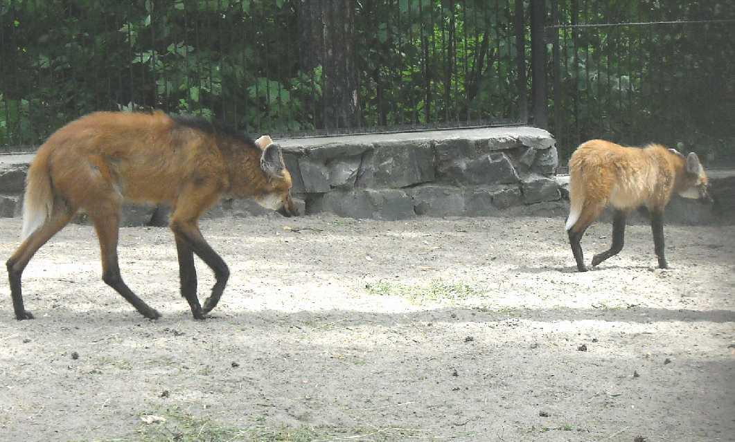 Гривистый волк - Chrysocyon brachyurus  (фото 1222)