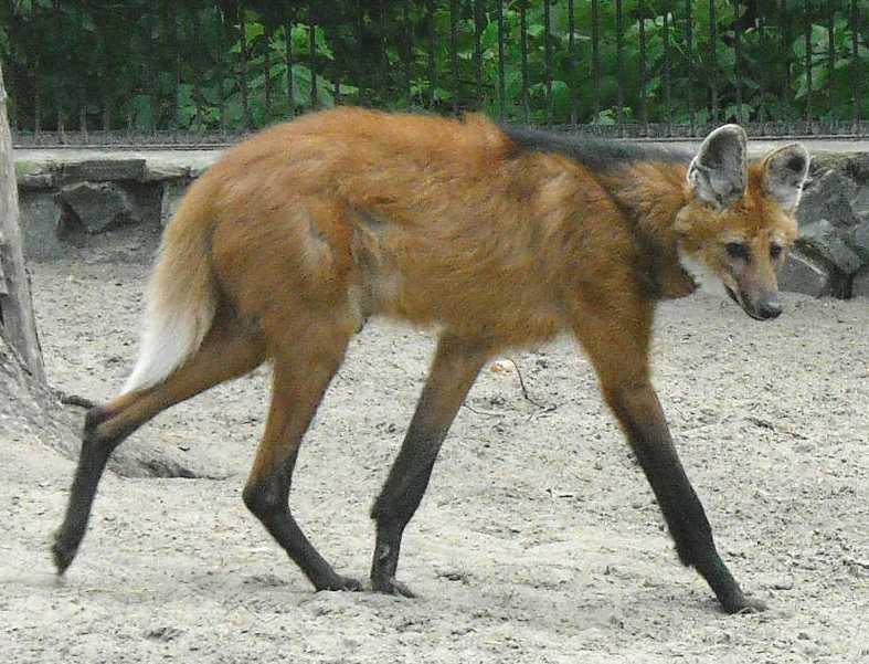 Гривистый волк - Chrysocyon brachyurus  (фото 1223)
