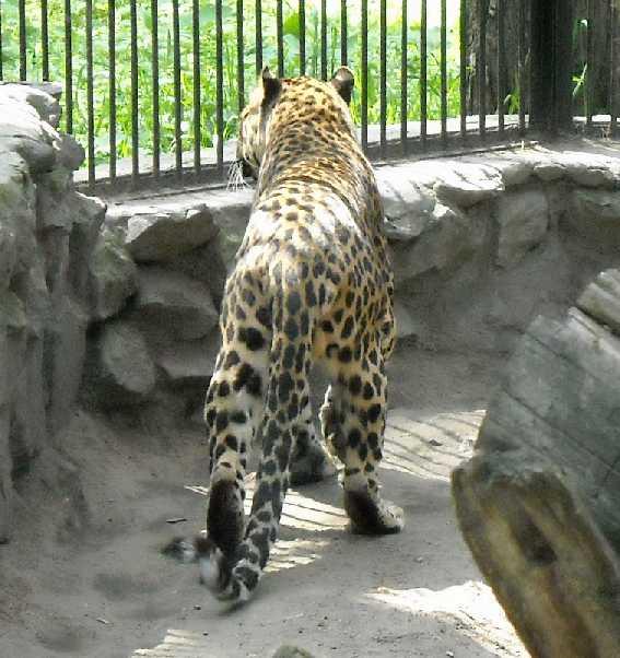 Кавказский леопард - Panthera pardus ciscaucasica  (фото 1252)