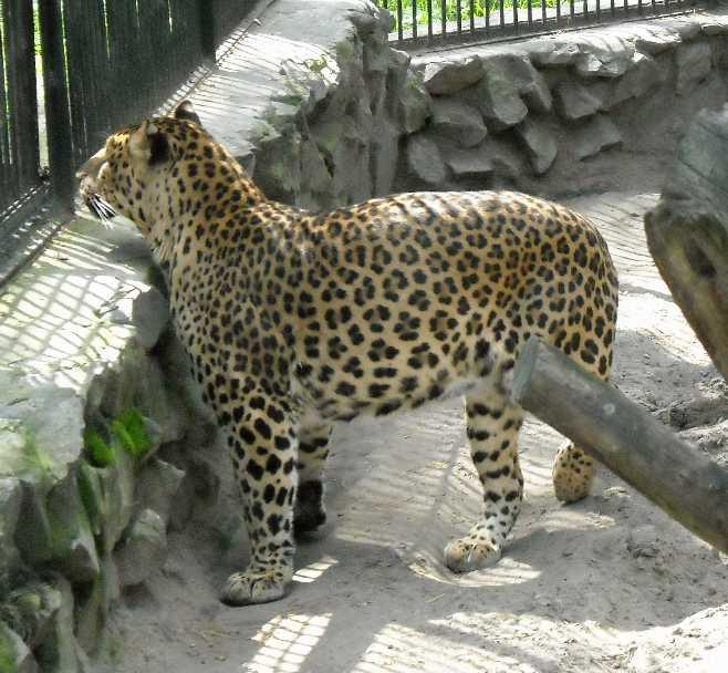 Кавказский леопард - Panthera pardus ciscaucasica  (фото 1254)
