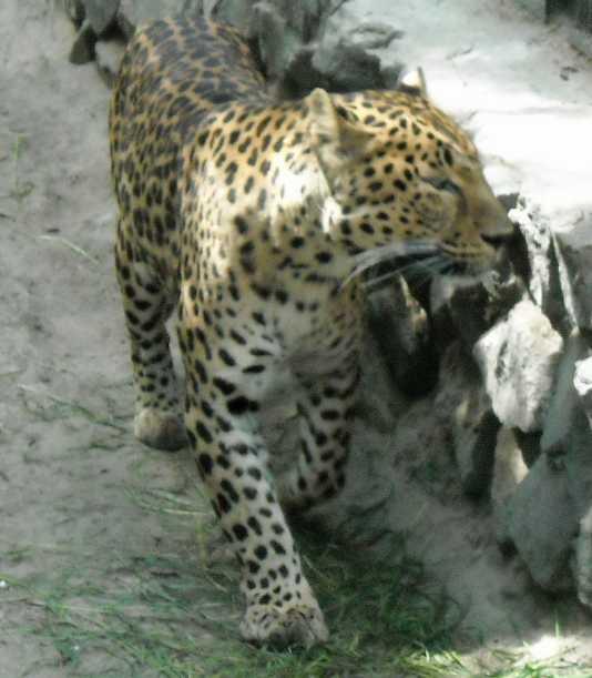 Кавказский леопард - Panthera pardus ciscaucasica  (фото 1256)