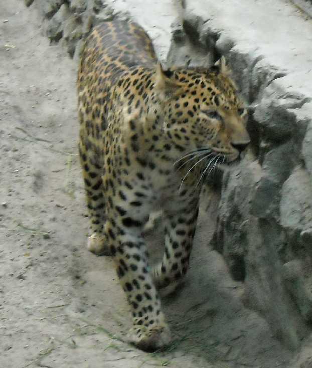 Кавказский леопард - Panthera pardus ciscaucasica  (фото 1257)