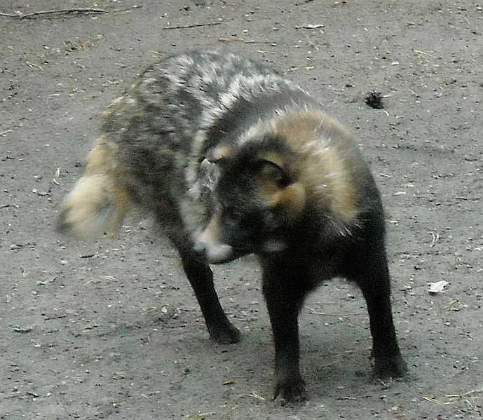 Енотовидная собака - Nyctereutes procyonoides  (фото 1258)