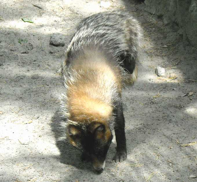 Енотовидная собака - Nyctereutes procyonoides  (фото 1268)