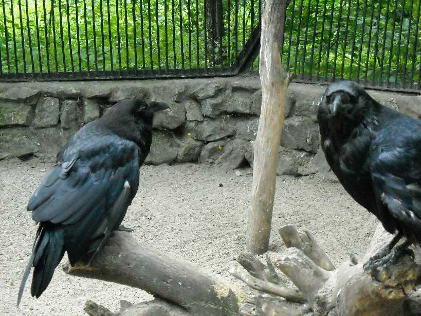 Ворон - Corvus corax  (фото 1284)