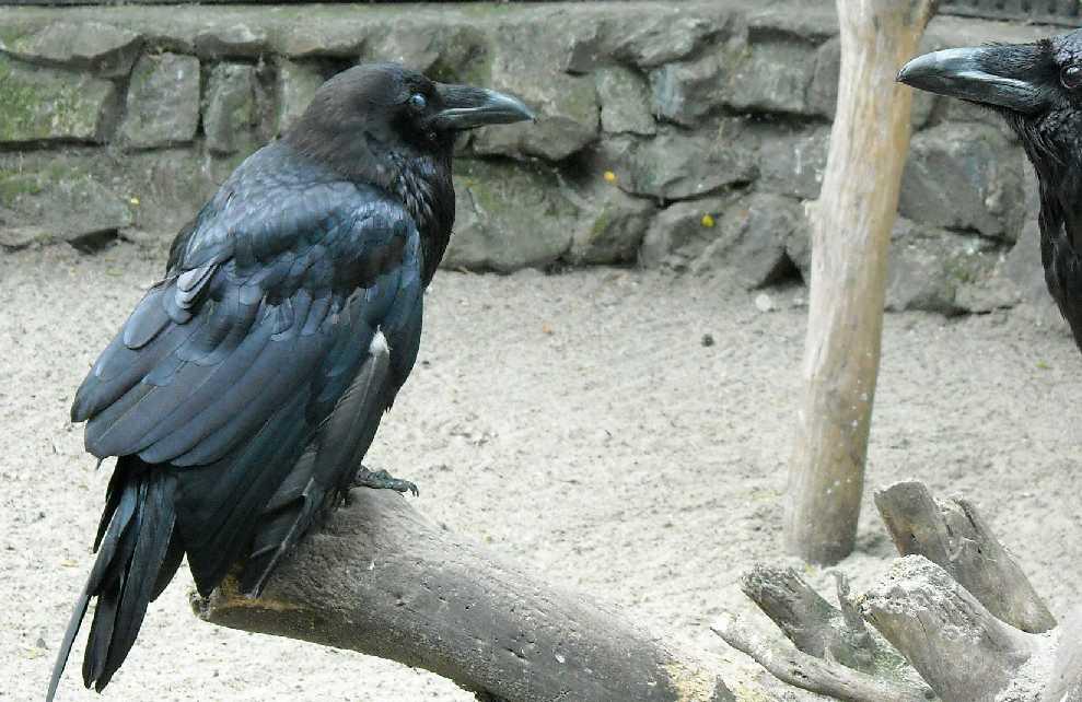 Ворон - Corvus corax  (фото 1286)