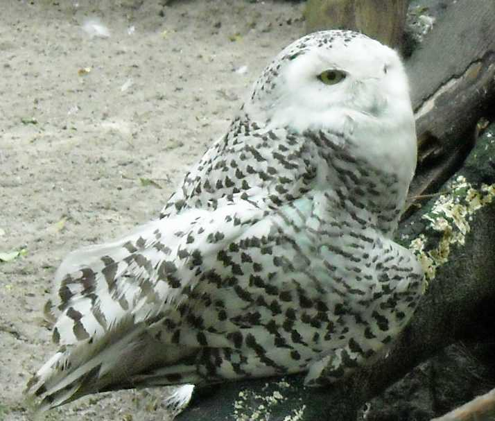 Белая сова - Nyctea scandiaca  (фото 1291)