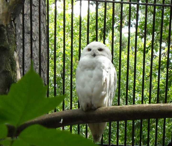 Белая сова - Nyctea scandiaca  (фото 1292)