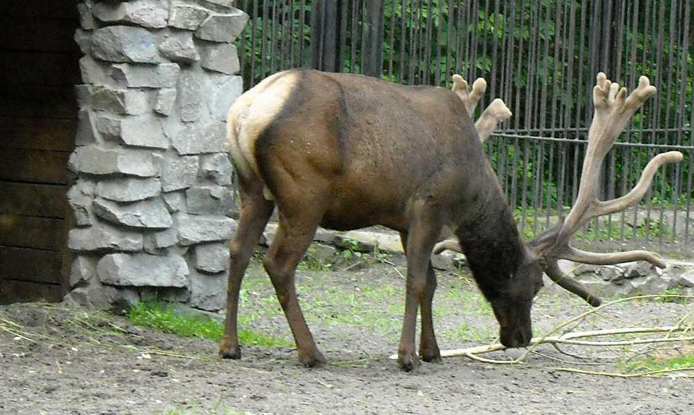 Марал алтайский - Cervus elaphus sibiricus  (фото 1302)