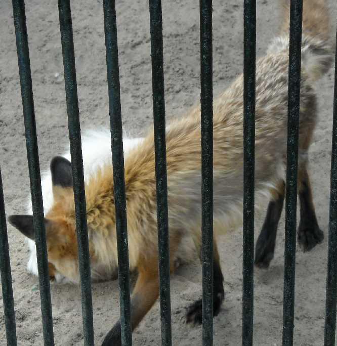 Обыкновенная лисица - Vulpes vulpes vulpes  (фото 1318)
