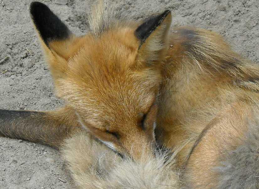 Обыкновенная лисица - Vulpes vulpes vulpes  (фото 1320)