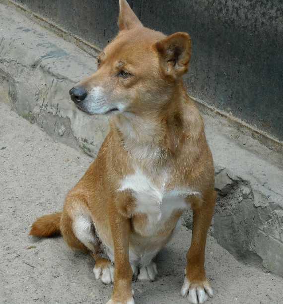 Австралийский динго - Canis familiaris dingo  (фото 1323)