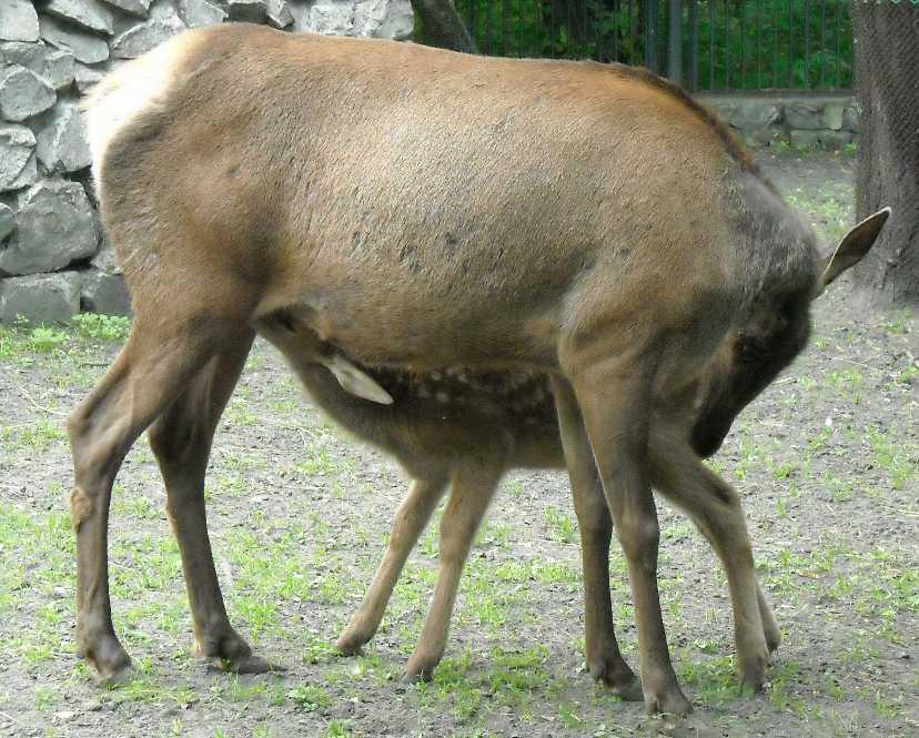 Марал алтайский - Cervus elaphus sibiricus  (фото 1324)