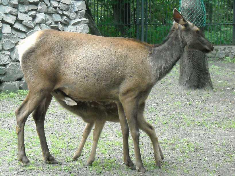 Марал алтайский - Cervus elaphus sibiricus  (фото 1325)
