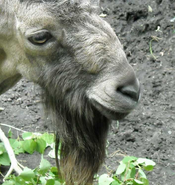 Сибирский горный козел - Capra ibex sibirica  (фото 1329)