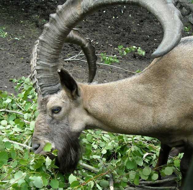 Сибирский горный козел - Capra ibex sibirica  (фото 1330)
