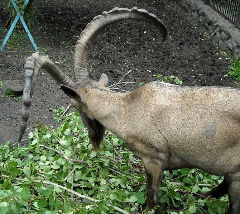 Сибирский горный козел - Capra ibex sibirica  (фото 1332)
