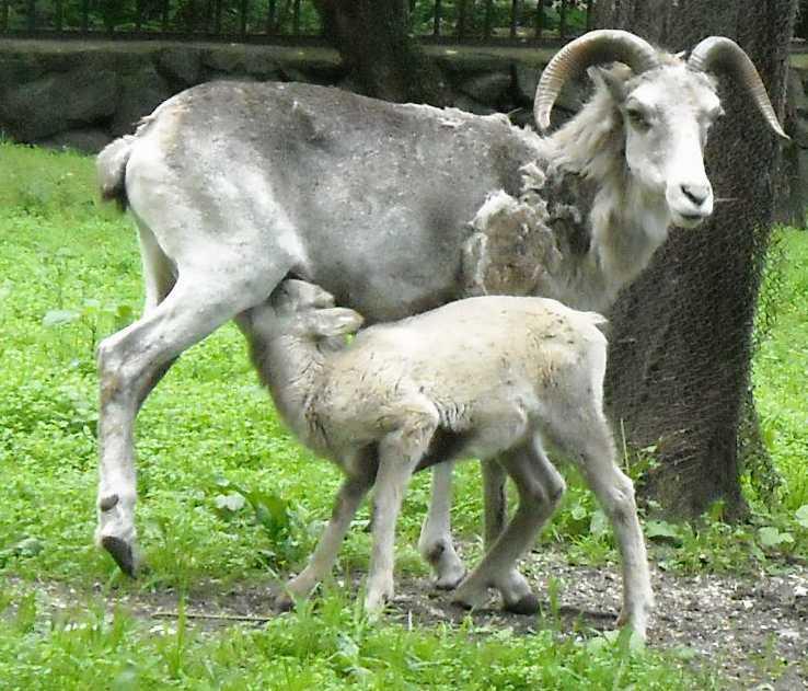 Сибирский горный козел - Capra ibex sibirica  (фото 1335)