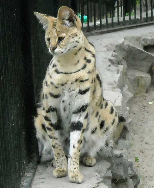 Сервал - Felis serval  (фото 1344)