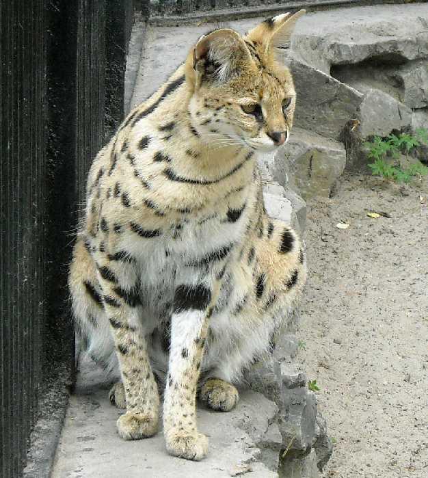 Сервал - Felis serval  (фото 1346)