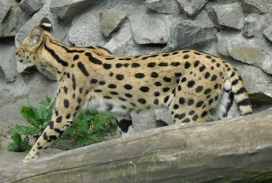 Сервал - Felis serval  (фото 1347)