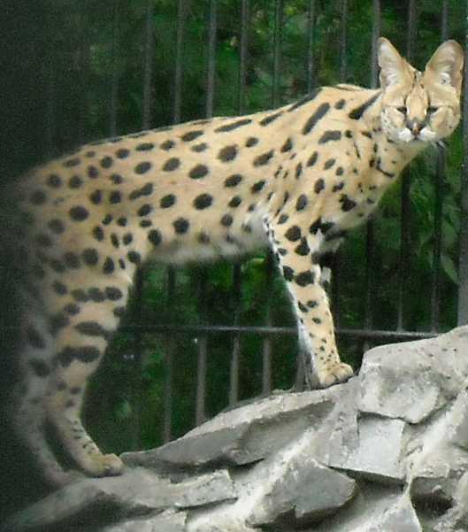 Сервал - Felis serval  (фото 1349)