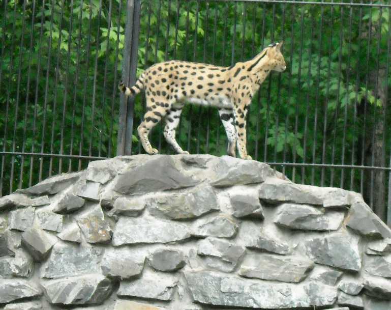 Сервал - Felis serval  (фото 1350)