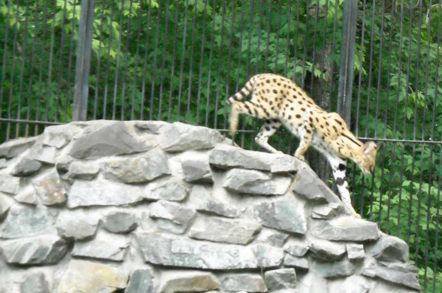 Сервал - Felis serval  (фото 1351)