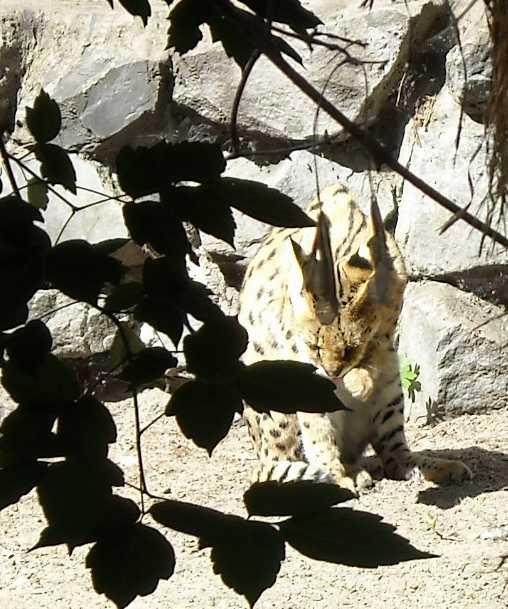 Сервал - Felis serval  (фото 1352)