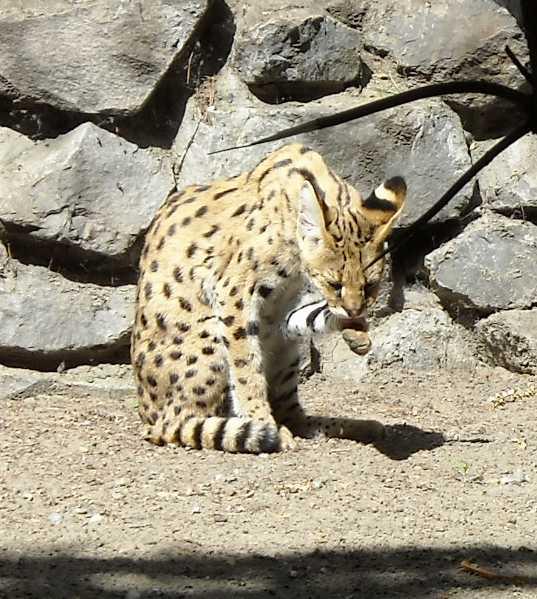 Сервал - Felis serval  (фото 1353)