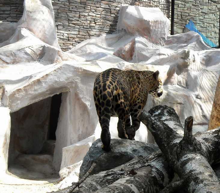 Ягуар - Panthera onca  (фото 1355)