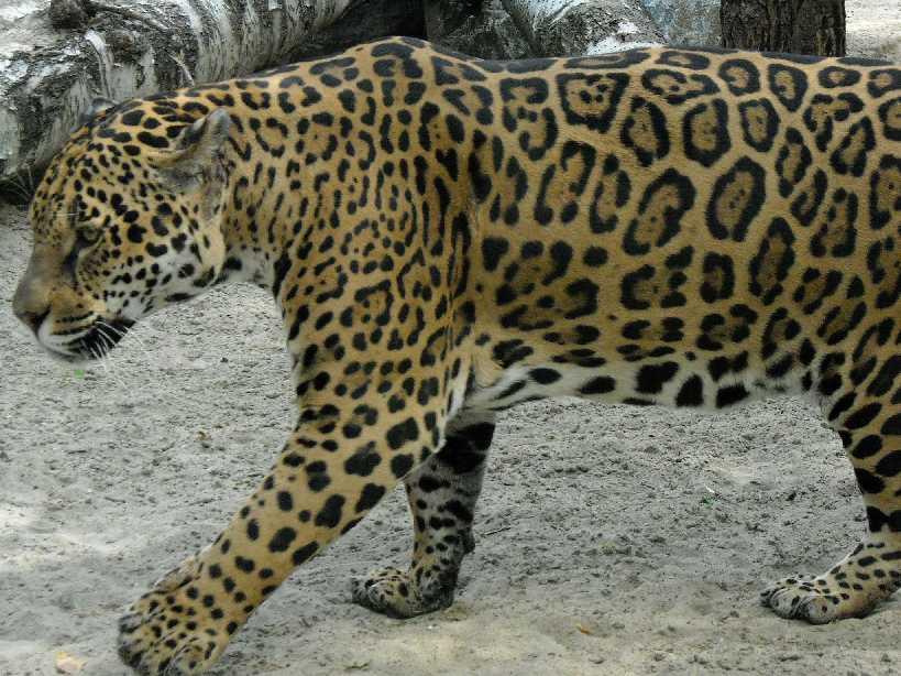 Ягуар - Panthera onca  (фото 1357)