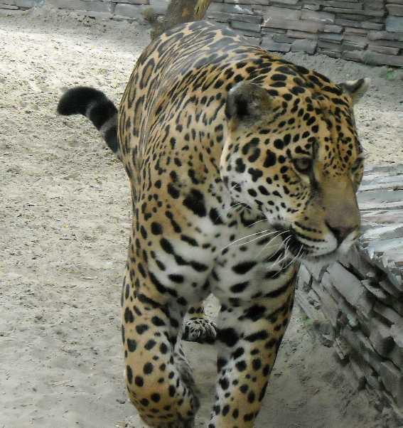 Ягуар - Panthera onca  (фото 1360)