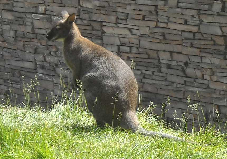 Кенгуру Беннета - Macropus rufogriseus  (фото 1365)