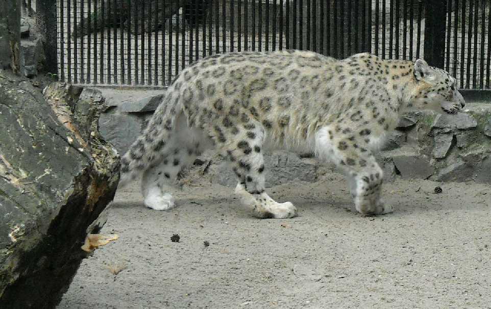 Снежный барс - Panthera uncia  (фото 1415)