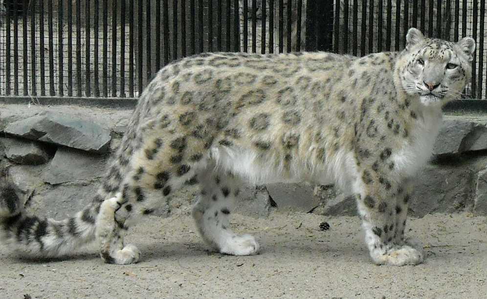 Снежный барс - Panthera uncia  (фото 1416)
