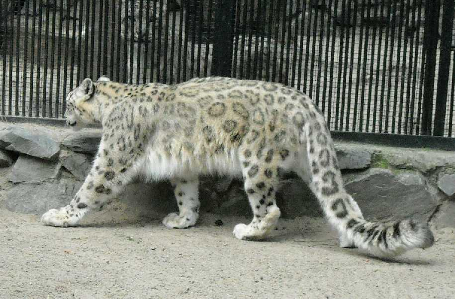Снежный барс - Panthera uncia  (фото 1417)