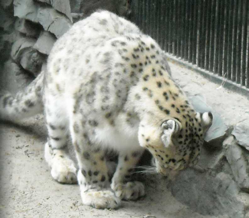 Снежный барс - Panthera uncia  (фото 1419)