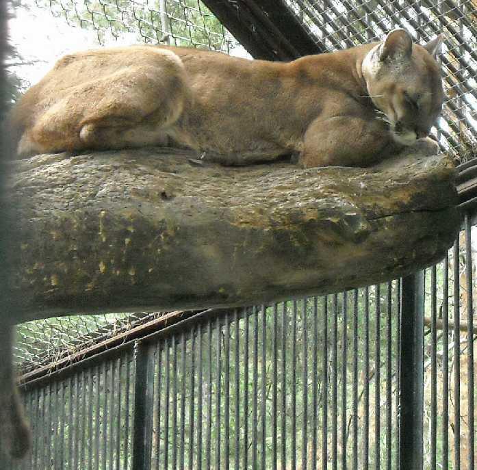 Пума - Felis concolor  (фото 1422)